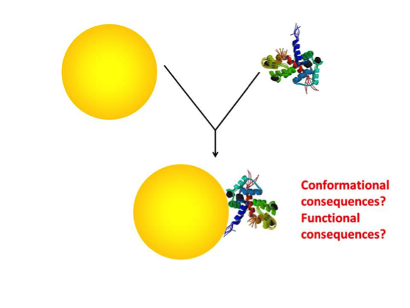 The association of a protein and a gold nanoparticle